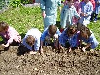 Plantando patacas